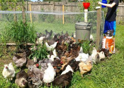 Austin, feeding the chickens.