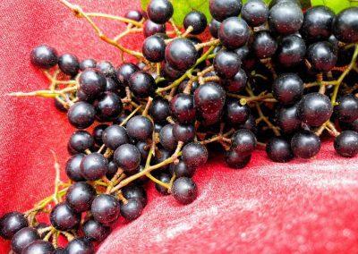 Tiny wild grapes!